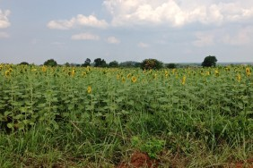 Sunflower crop - one of the crops typically grown by substance farmers in Uganda.