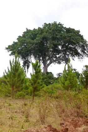 Plantation pines growing close to the sacred Walumbe Tree.