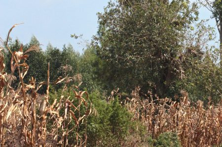 Plantation land encroaching on food crops.